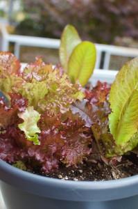 Nosherium Container Garden Lettuce